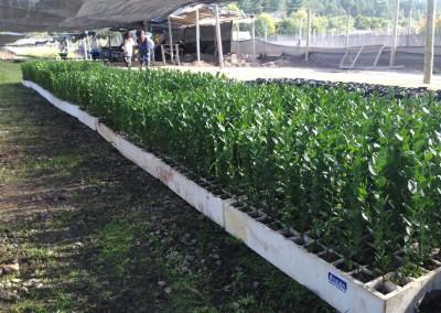 Plantas-de-Quillay-en-vivero
